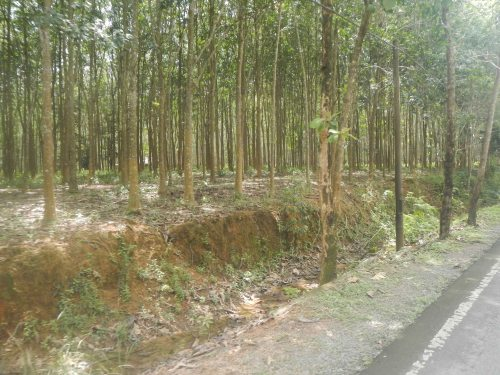 Rubber Trees with no end
